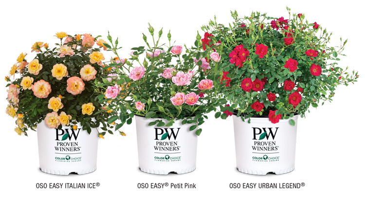 Examples of bare root rose varieties