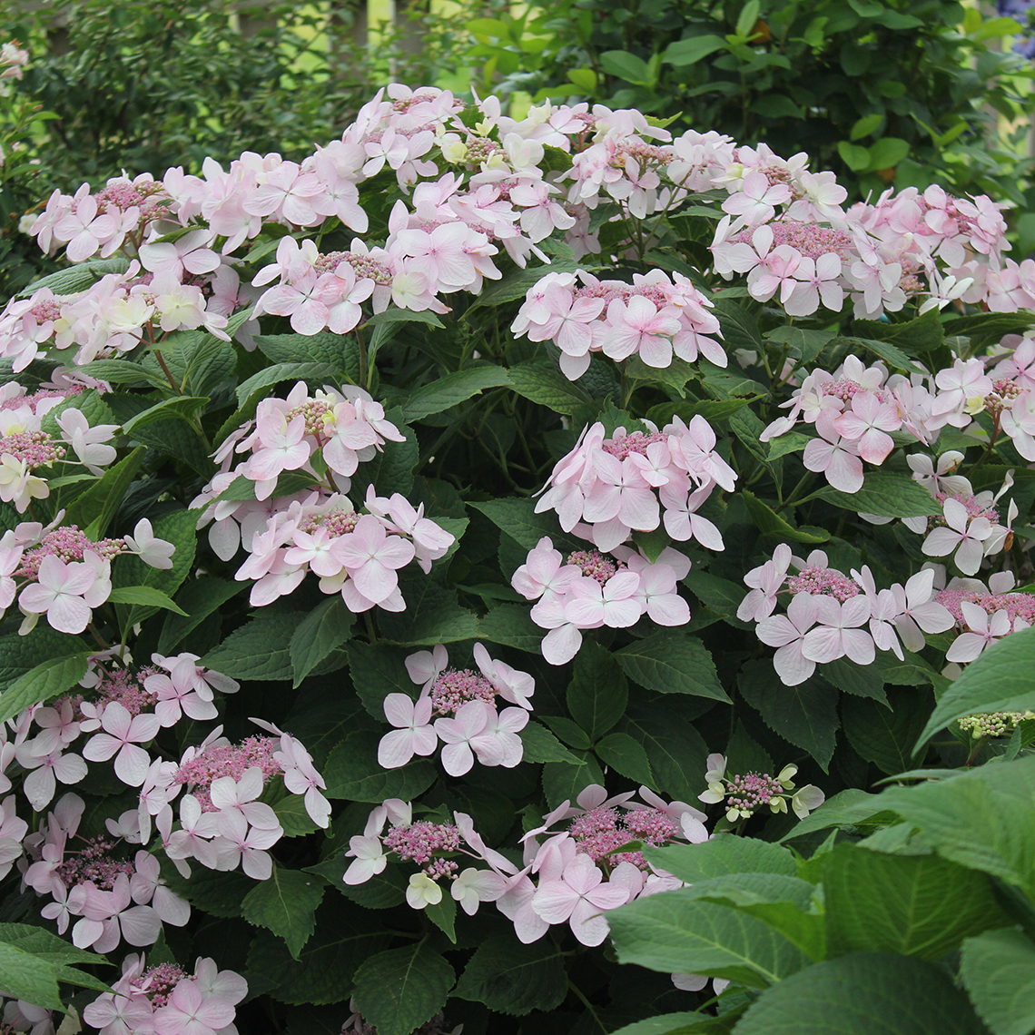 Lets Dance Diva lacecap hydrangea covered in extra large pink blooms in the landscape