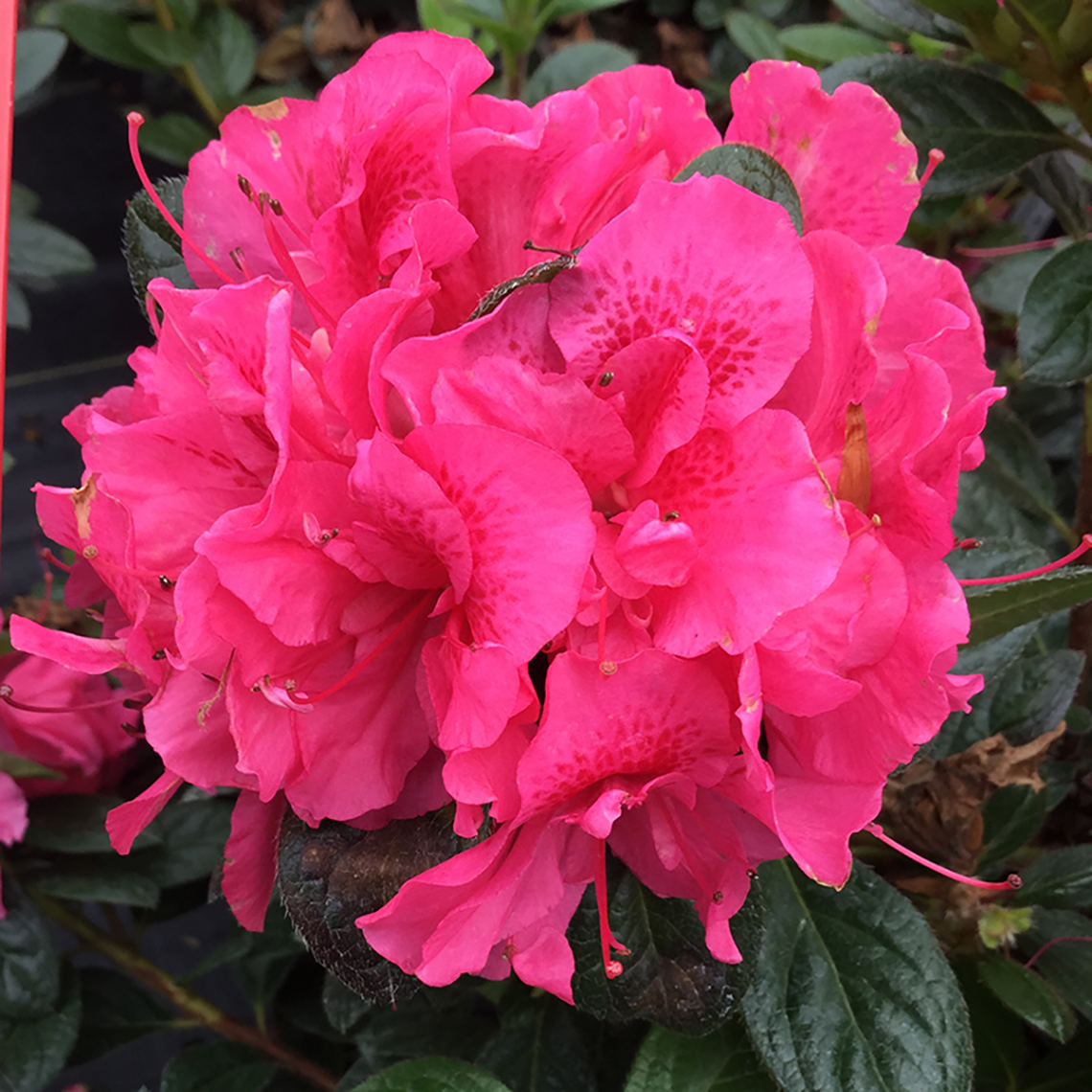 The bright pink flower cluster of Perfecto Mundo Double Dark Pink reblooming azalea