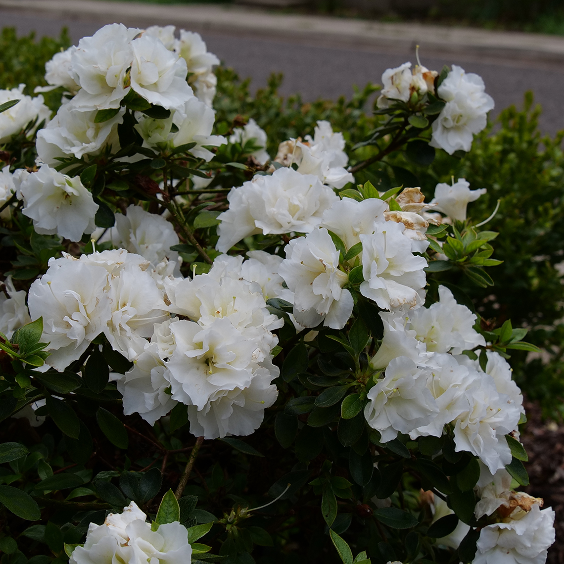 Perfecto Mundo Double White azalea is an innovative new reblooming azalea