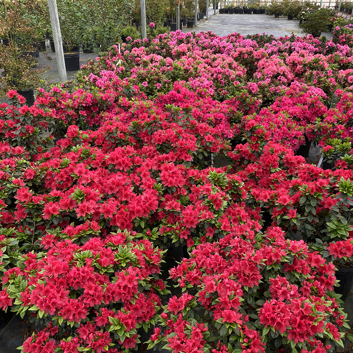 The vivid red blooms of Perfecto Mundo Red reblooming azalea appear in spring and in fall