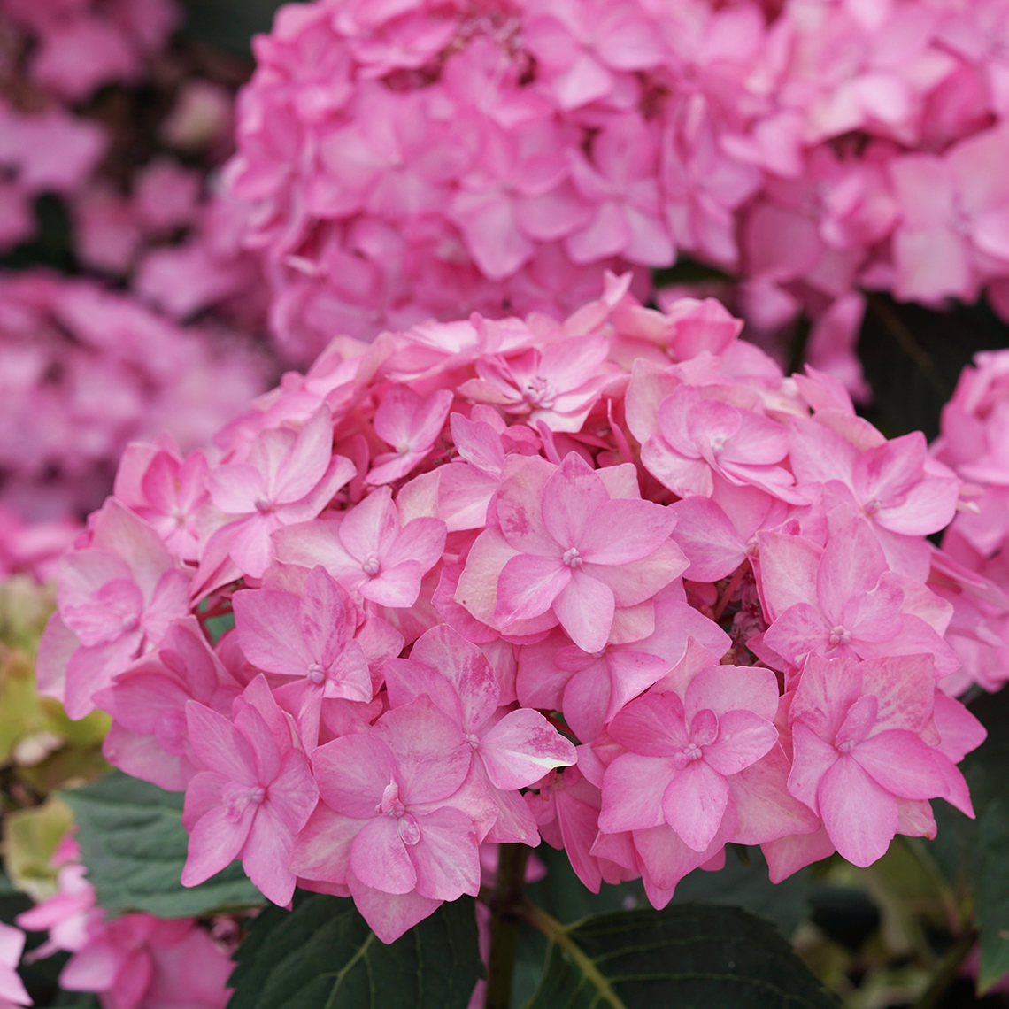 Let's Dance Cancan hydrangea has bright pink lacecap flowers