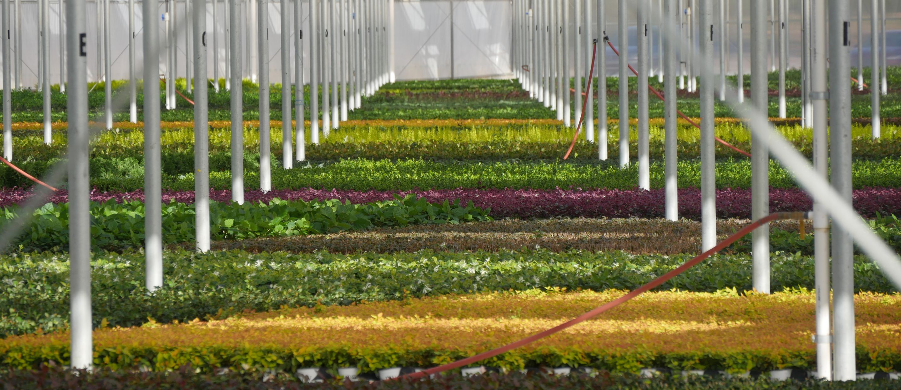Colorful Shrub Liners Filling Larger Greenhouse