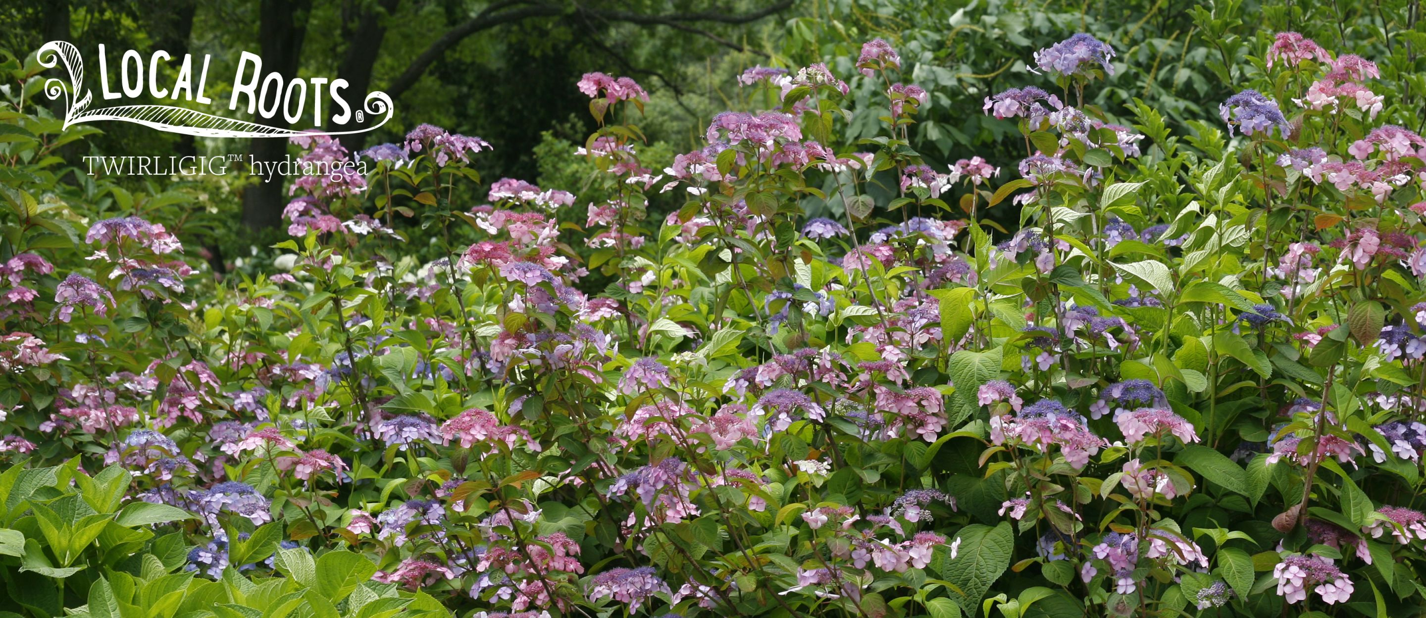 Local Roots Variety Twirligig Hydrangea Serrata