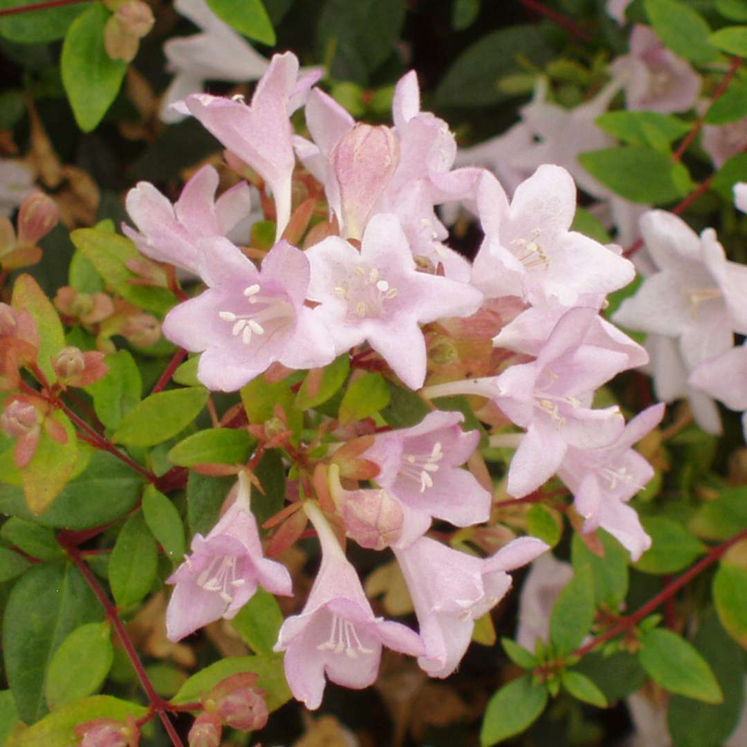 Fairy Dance Abelia Spring Meadow Wholesale Liners Spring