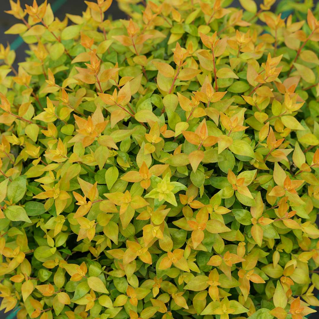 Bright foliage of Funshine Abelia