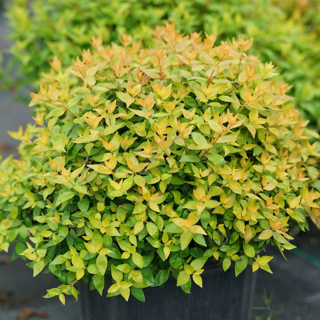 Funshine Abelia in pot