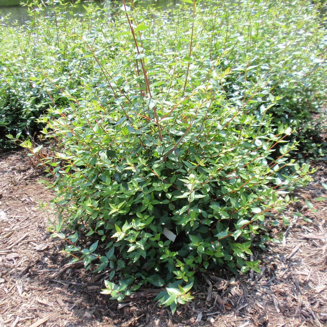 Abelia Little Richard Spring Meadow Wholesale Liners Spring