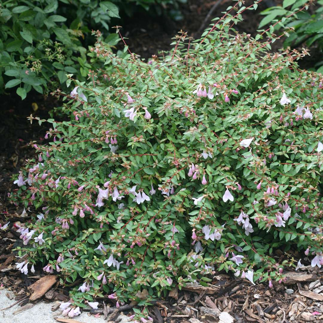Pinky Bells Abelia in the landscape
