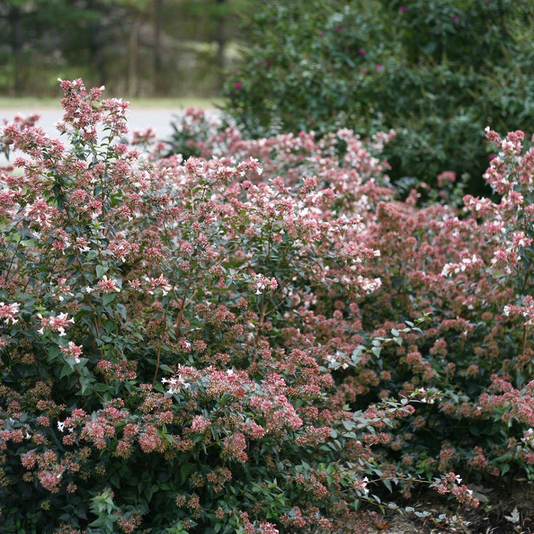 Ruby Anniversary Abelia Spring Meadow Wholesale Liners Spring
