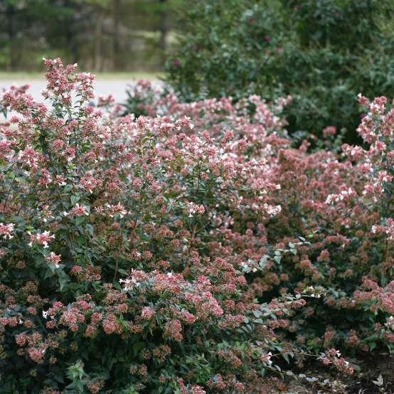 Pinky Bells Abelia Spring Meadow Wholesale Liners Spring