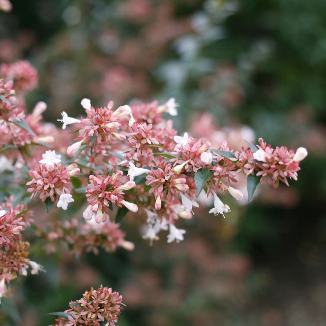 Close up of Ruby Anniversary Abelia's red bracts and white flowers