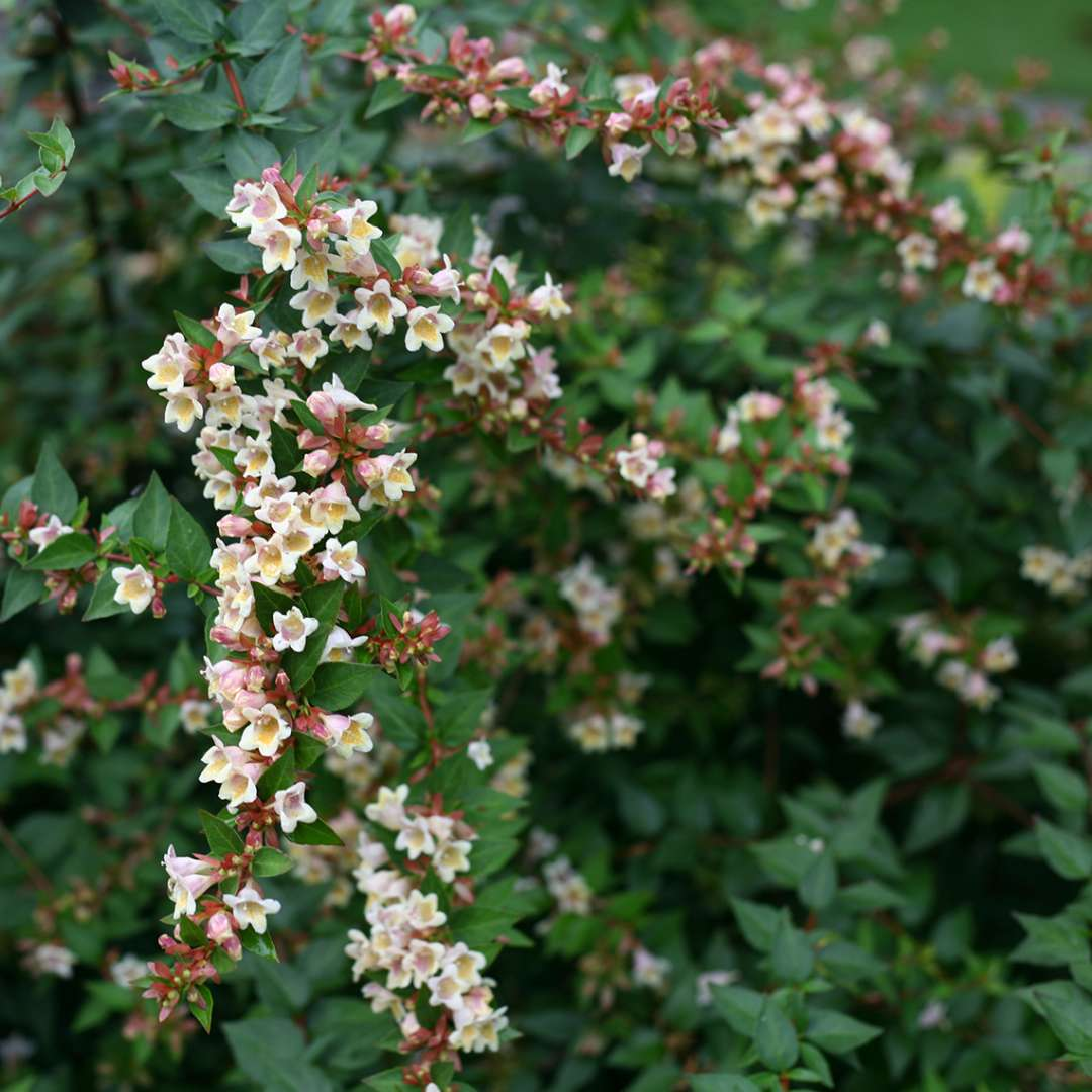Branches of Sunny Anniversary Abelia covered in blooms
