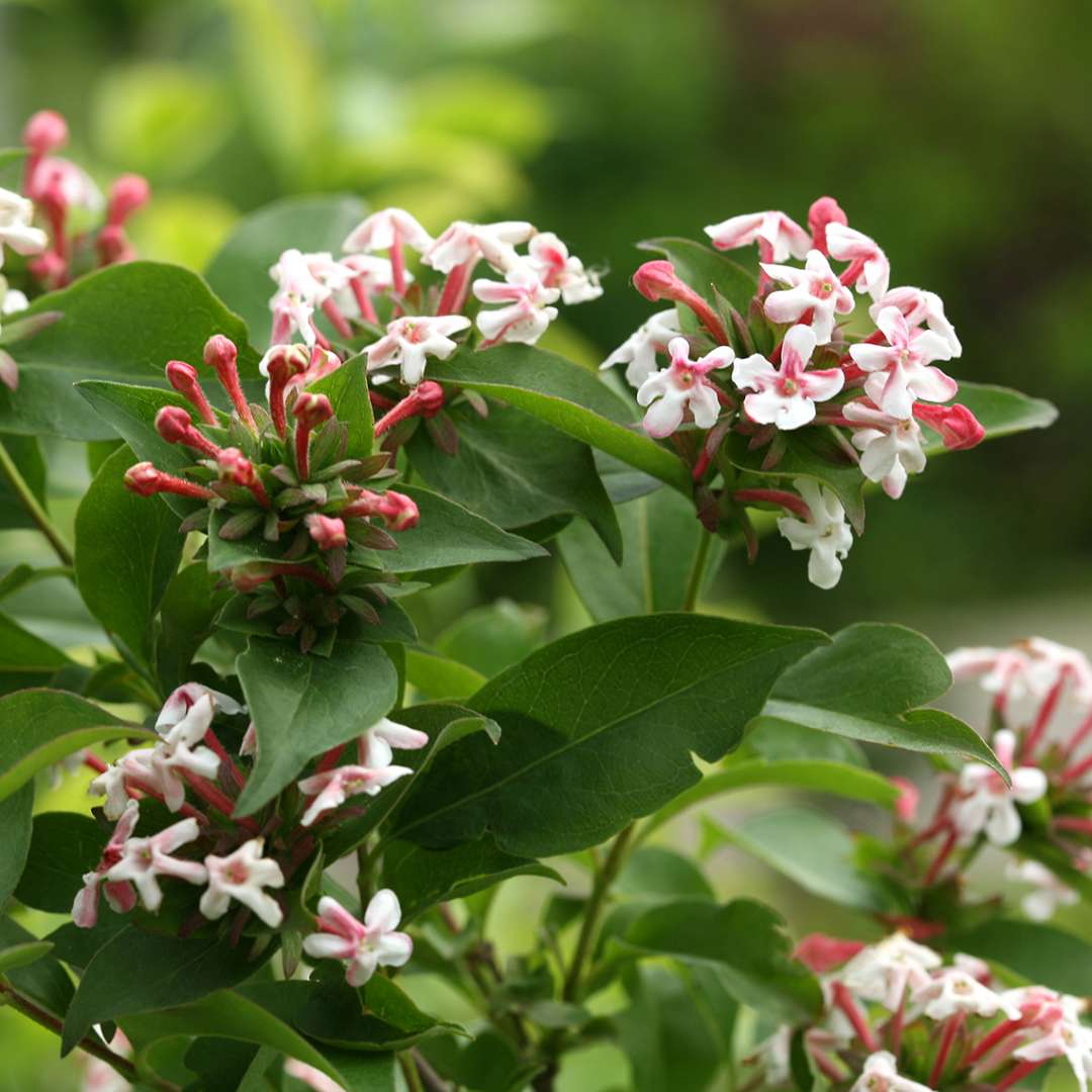 Close up of white and pink flowers of Sweet Emotion Abelia