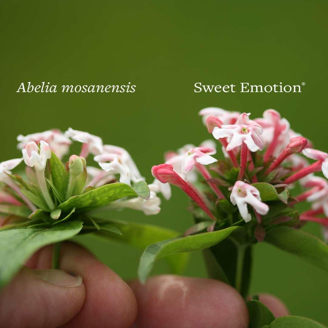 Sweet Emotion Abelia Spring Meadow Wholesale Liners Spring