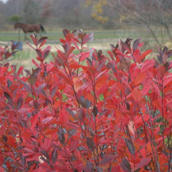 Close up of Aronia Brilliantissima fall foliage