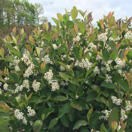 Low Scape Hedger Aronia in bloom in landscape
