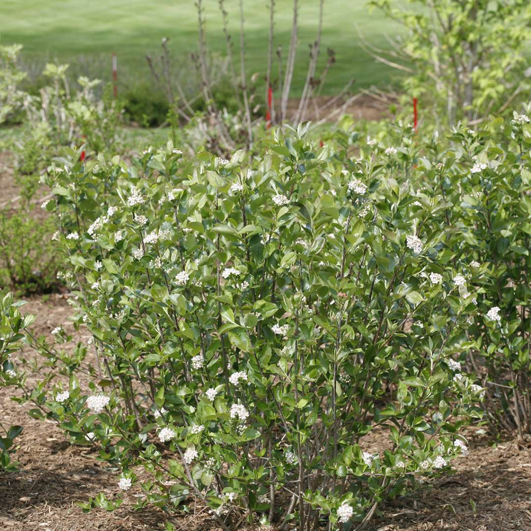 Low Scape Hedger Aronia in landscape
