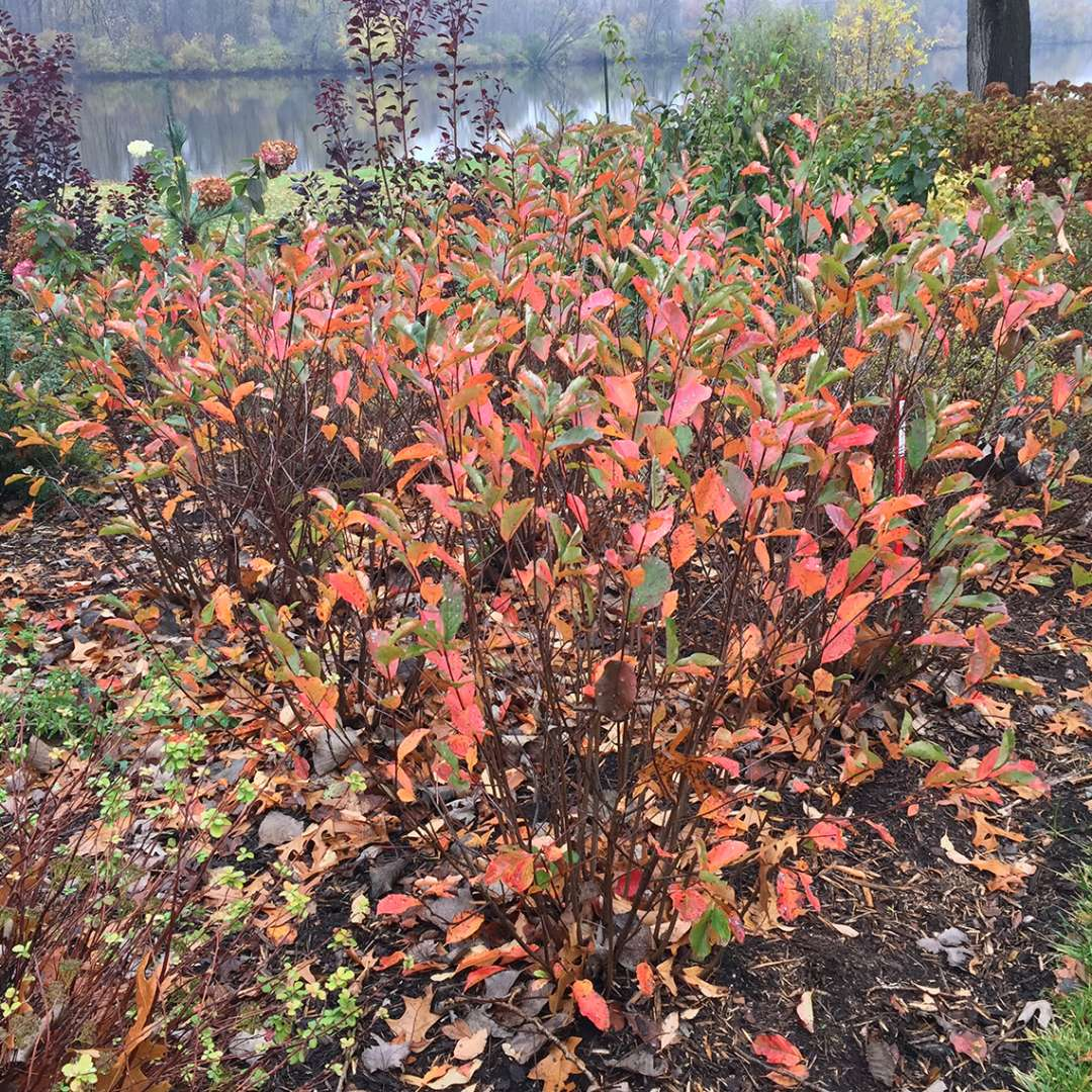 Low Scape Hedger Aronia red fall color