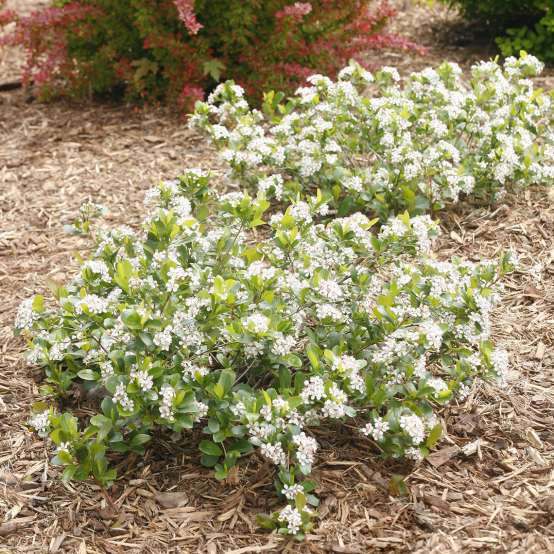 Low Scape Mound Aronia in landscape with white flowers