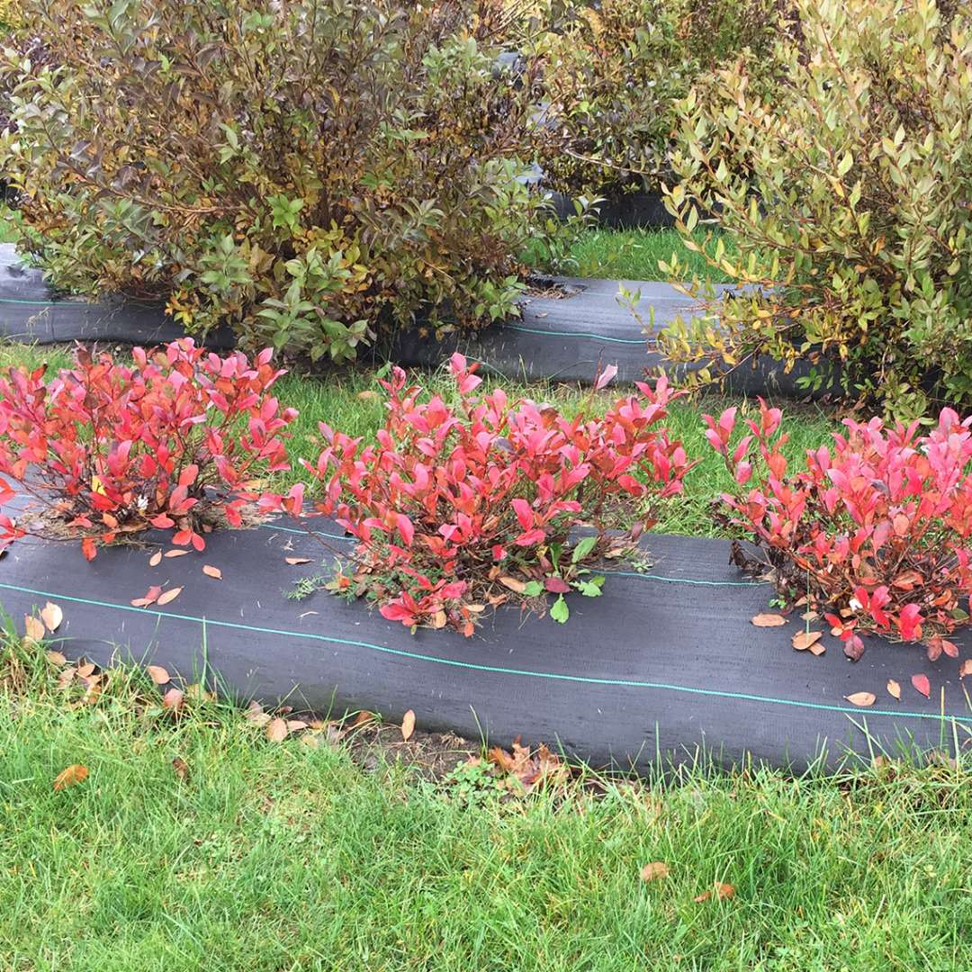 Low Scape Mound Aronia with bright red-orange fall color