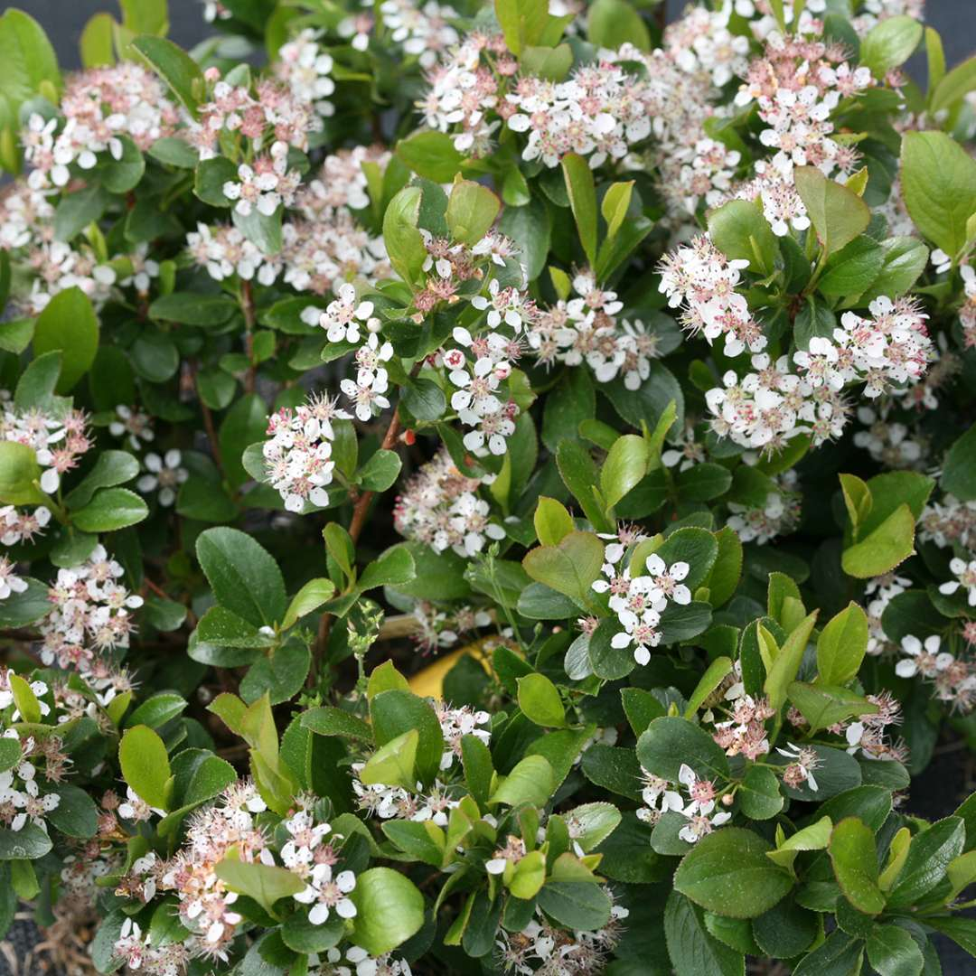 Close up of Low Scape Mound Aronia's white flowers