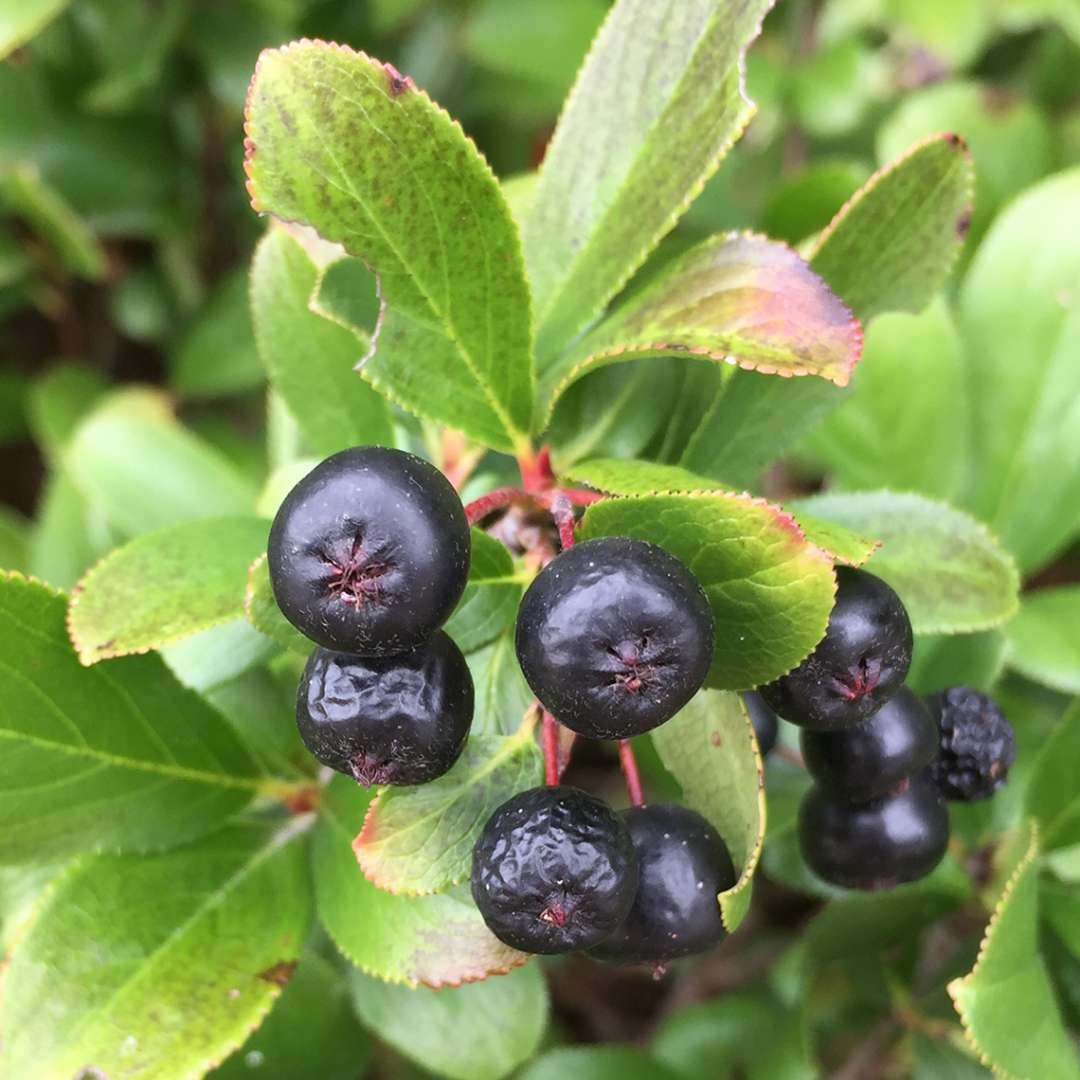 Close up of Low Scape Mound Aronia's black fruit