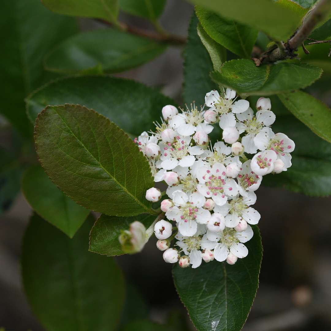 Close up of white Aronia Viking flowers