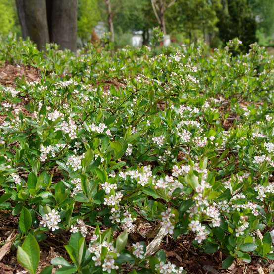 Ground Hug aronia is a durable ground cover shrub ideal for difficult spots