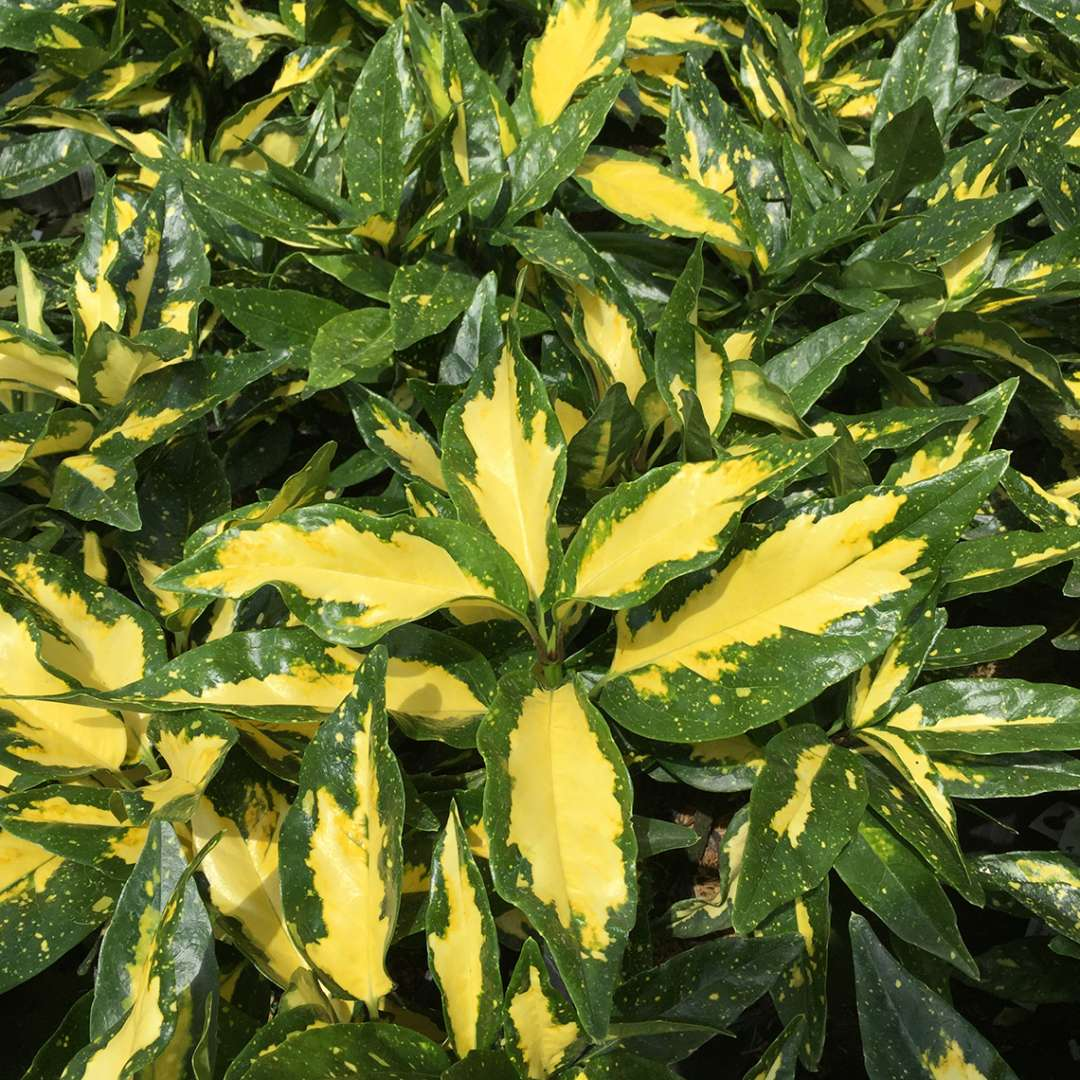 Close up of yellow and dark green variegated Aucuba Picturata