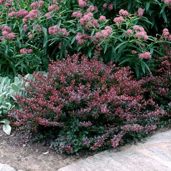 Berberis Crimson Pygmy in landscape
