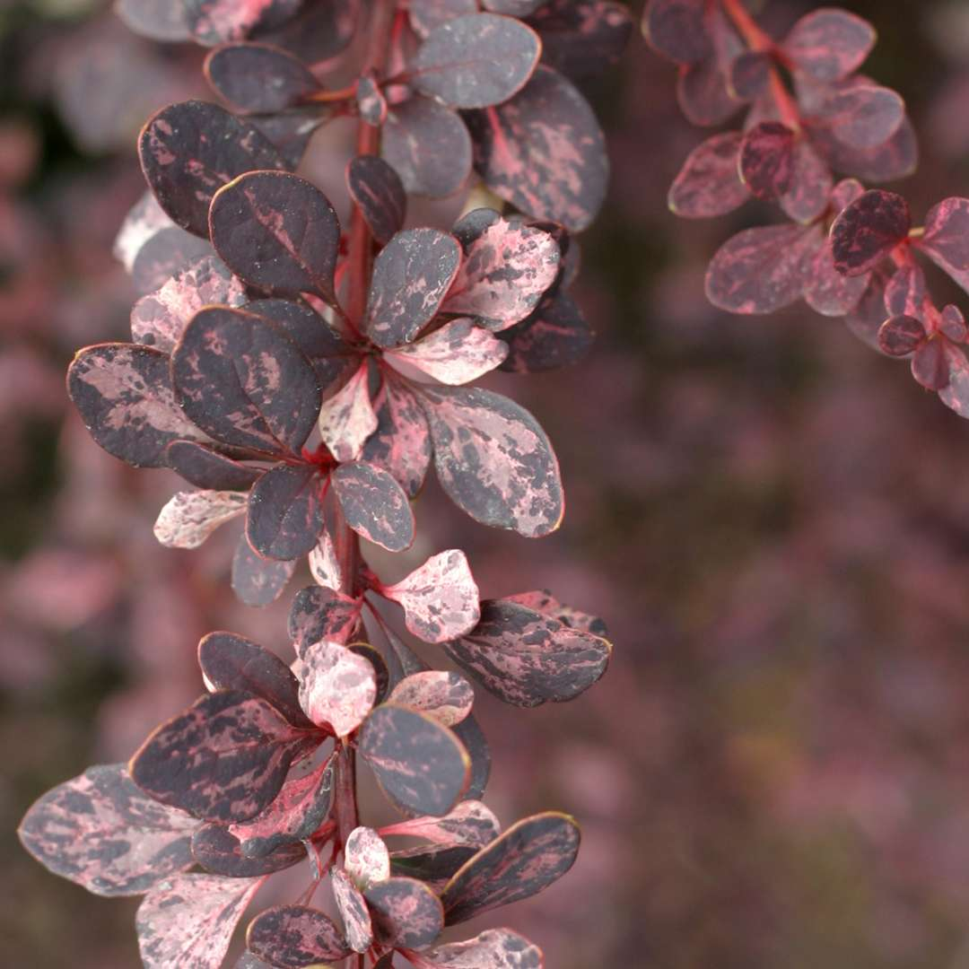 Close up of purple white and green variegated foliage of Berberis Rose Glow