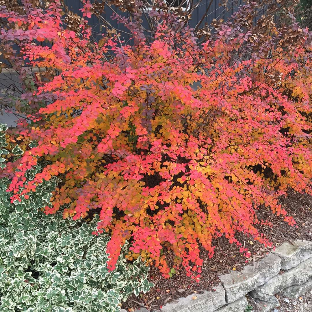 Sunjoy Cinnamon Berberis red and orange fall color