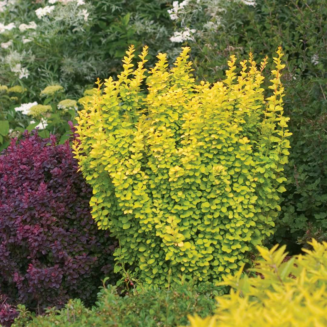 Sunjoy Gold Pillar Berberis in landscape