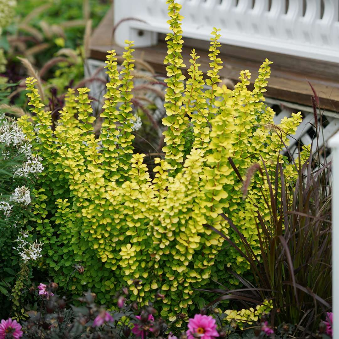 Sunjoy Gold Pillar Berberis in garden