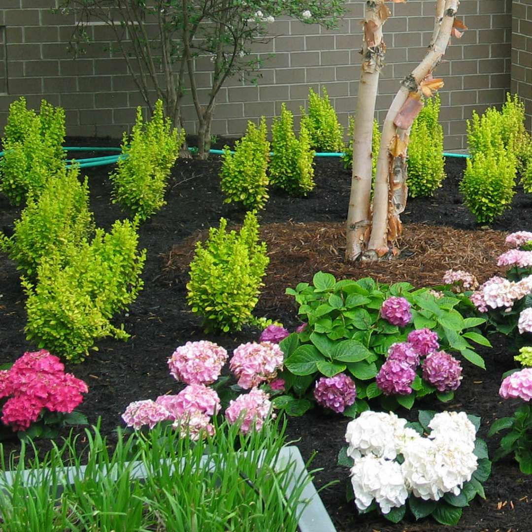 Mass planting of Sunjoy Gold Pillar Berberis behind Hydrangeas
