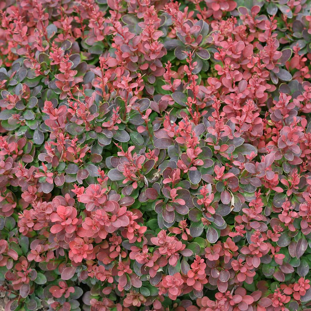 Close up of Sunjoy Mini Salsa Berberis' red foliage