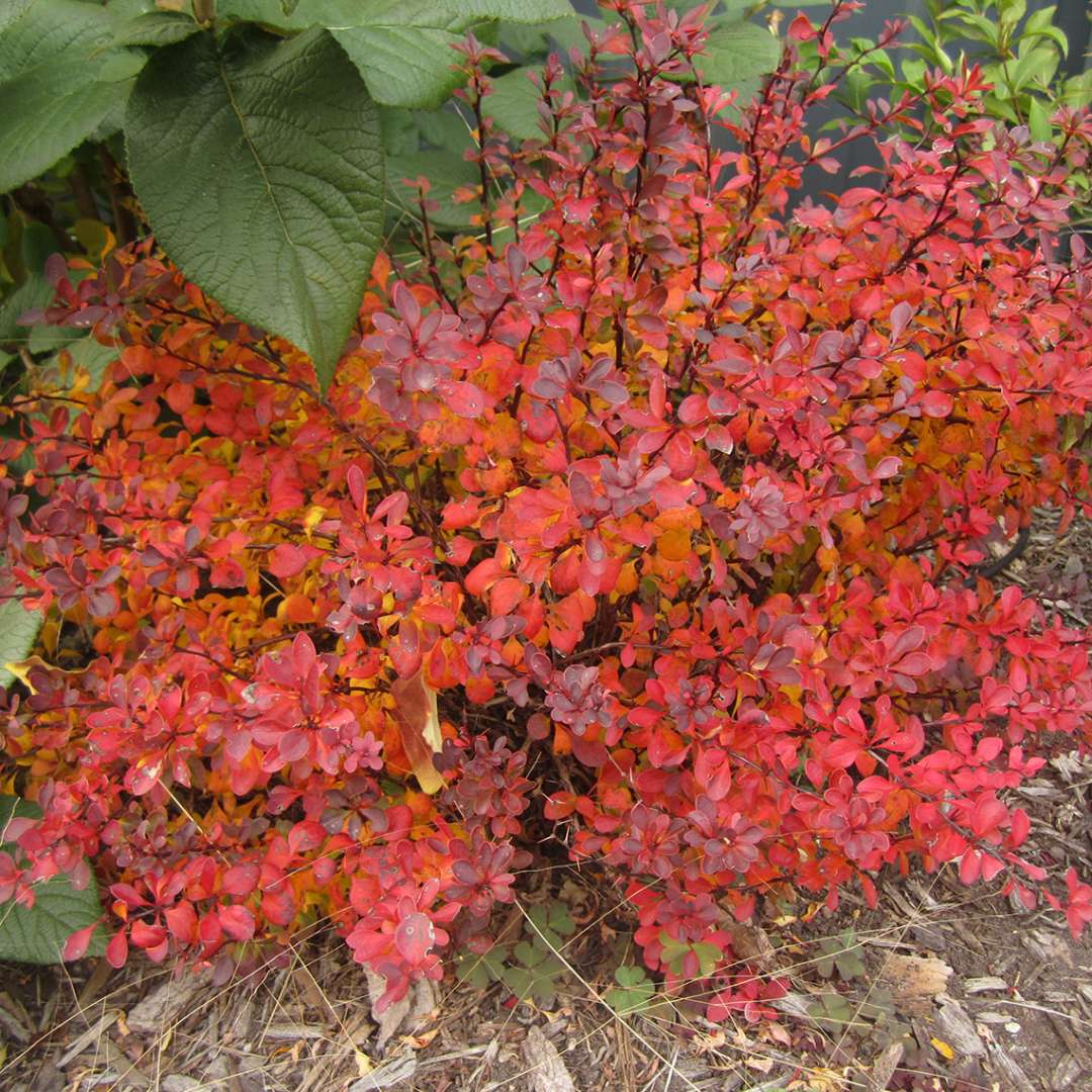 Red fall foliage of Sunjoy Mini Salsa Berberis