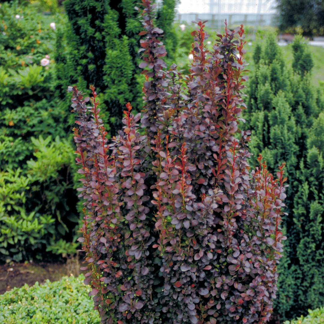 Narrow-growing Berberis Helmond Pillar in landscape