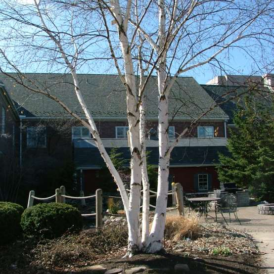 Avalanche birch is a multi stemmed white bark birch