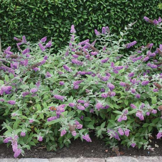 Planting of low-growing Lo & Behold Blue Chip Buddleia