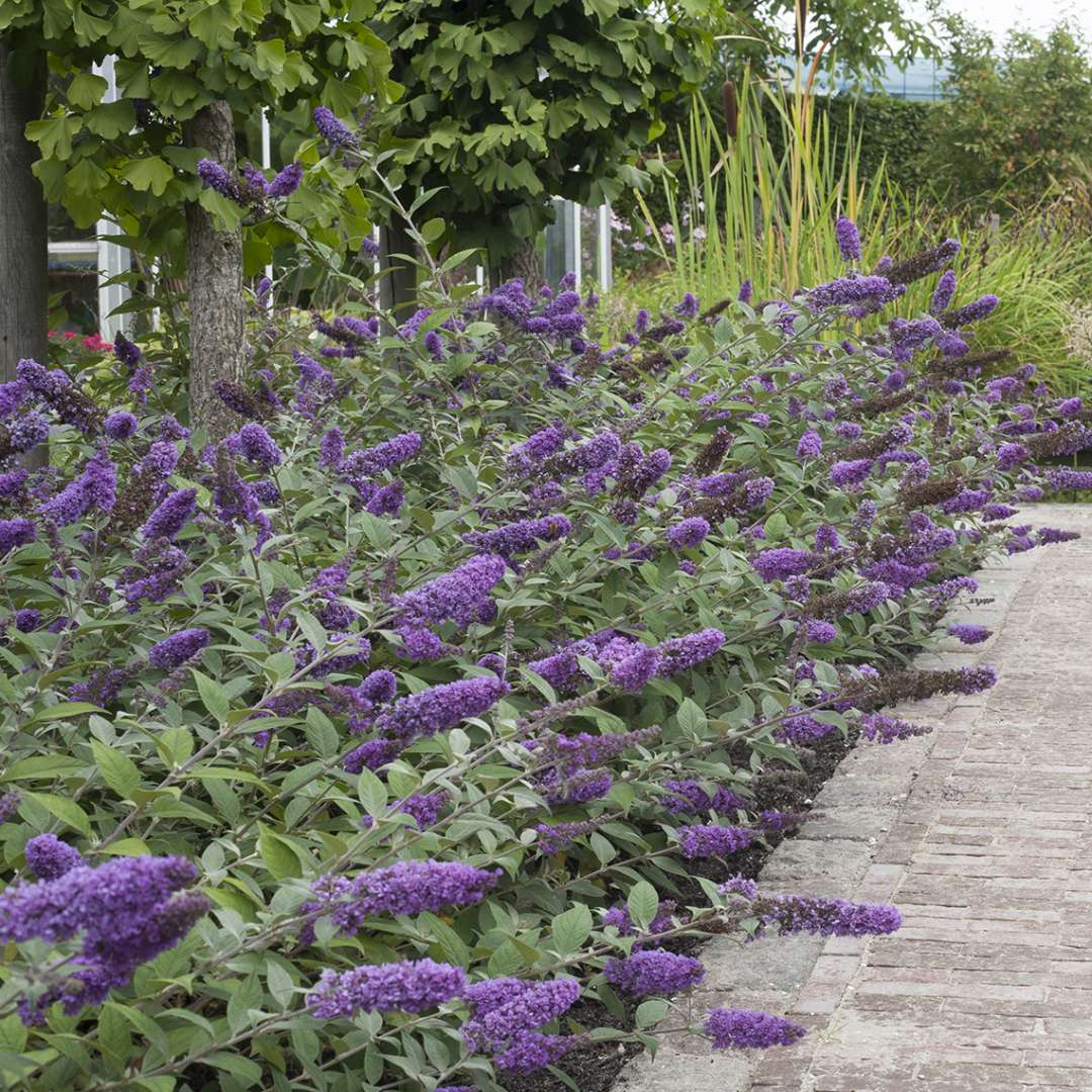 Mass planting of Lo & Behold Blue Chip Buddleia along walkway