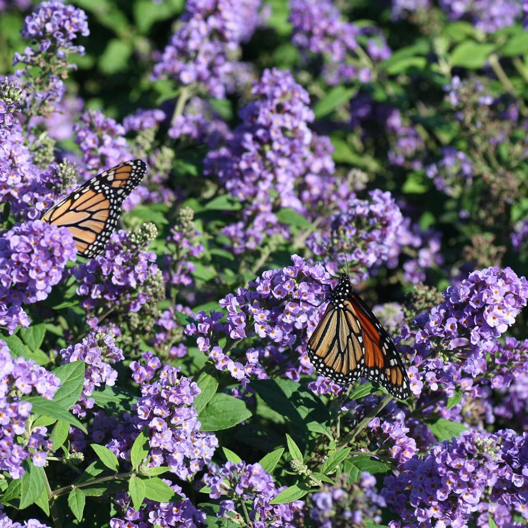Close up of Lo & Behold Blue Chip Buddleia blooms with two monarch butterflies
