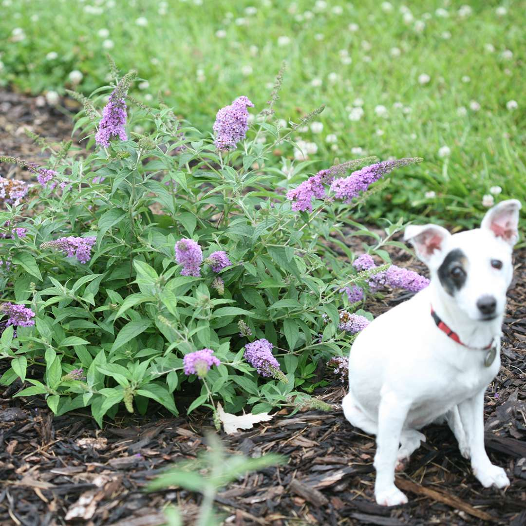 Lo & Behold Lilac Chip Buddleia with jack russell terrier