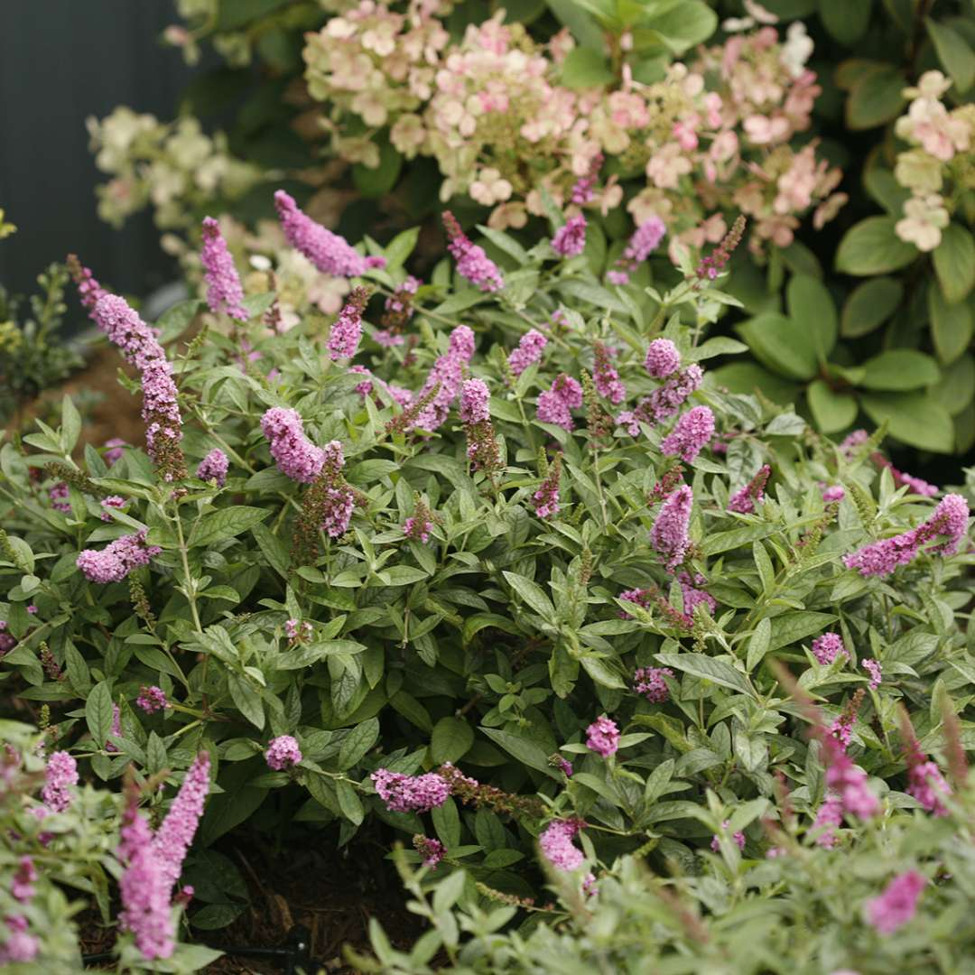 Lo & Behold Pink Micro Chip Buddleia in garden