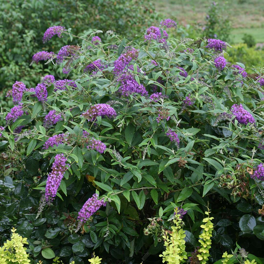 Lo & Behold Purple Haze Buddleia in garden