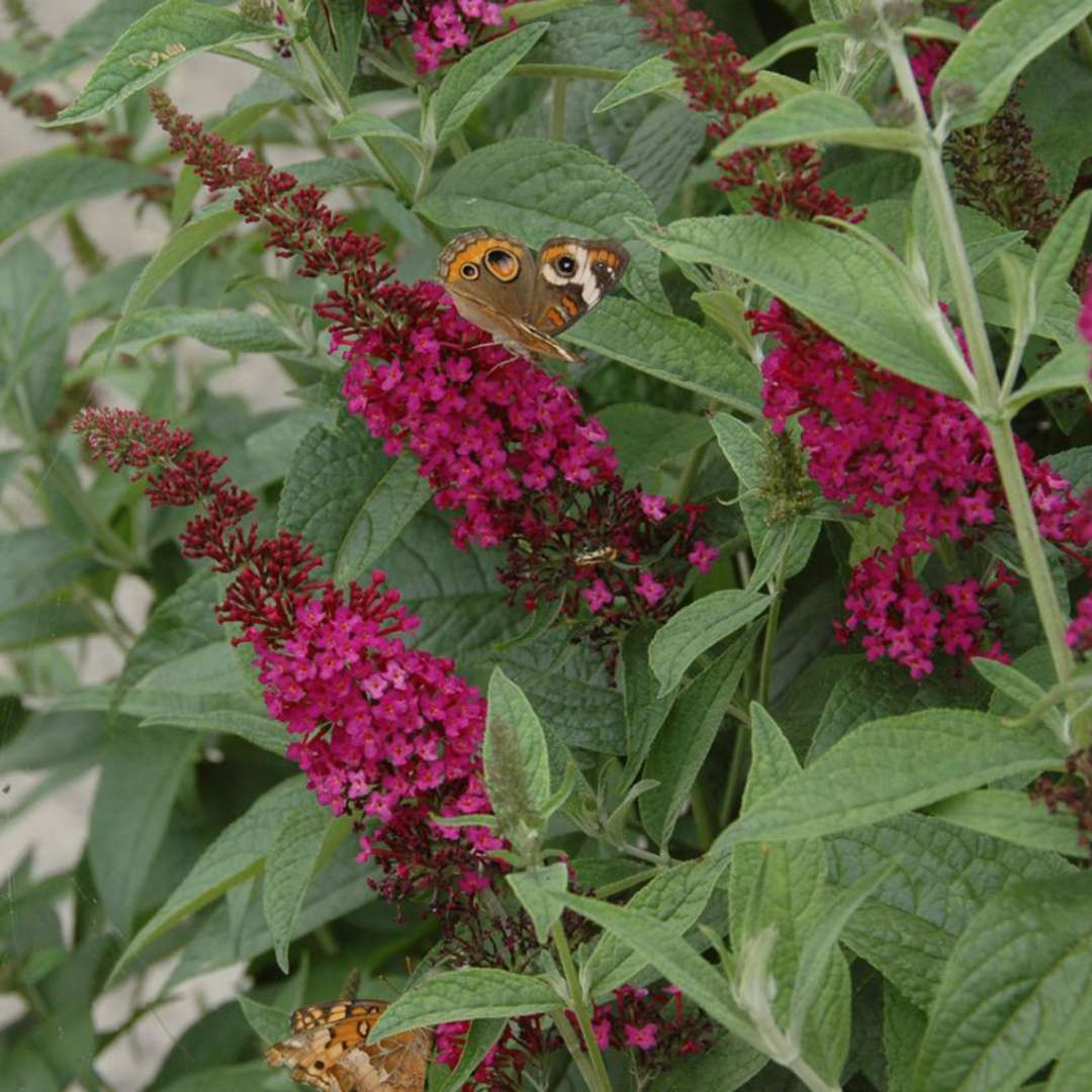 Close up of Buddleia Miss Molly's deep magenta bloom with butterfly