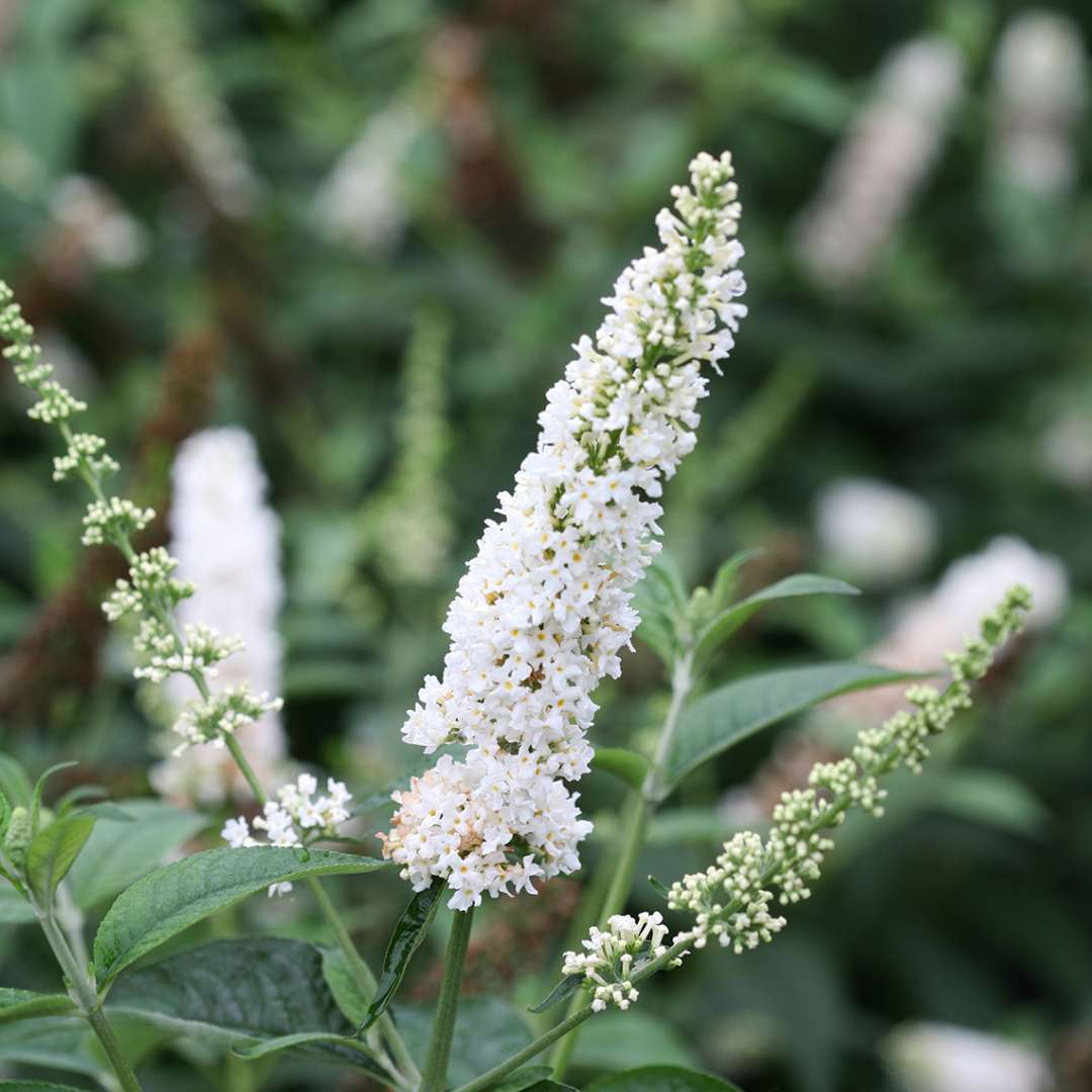 Close up of white Buddleia Miss Pearl blooms