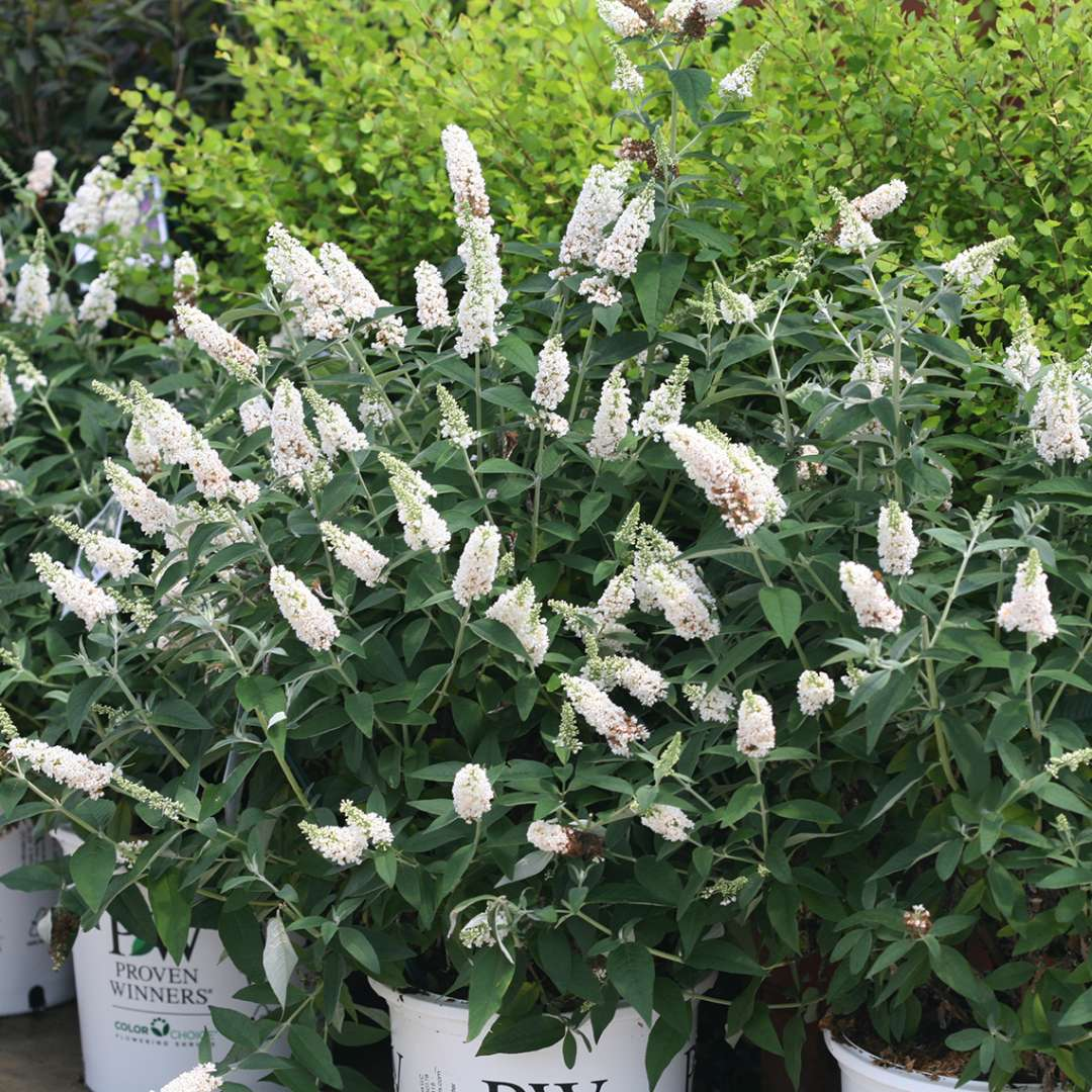 Buddleia Miss Pearl in white Proven Winners ColorChoice pots