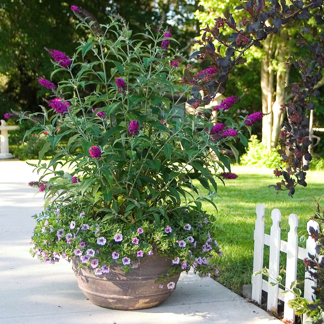 Buddleia Miss Ruby in decorative pot with annuals near white picket fence